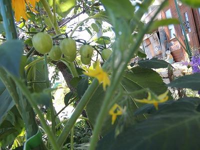 植えないのにトマトDSCN8661