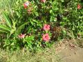 島に咲いていた花(5)