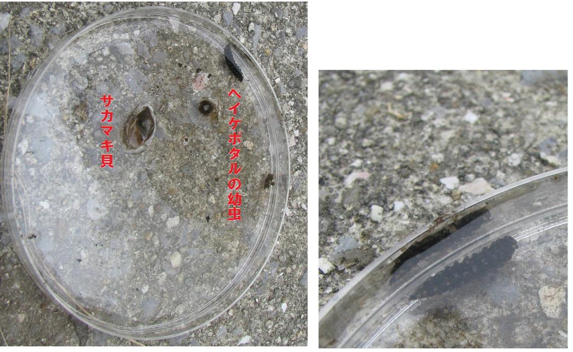 IMG_2468幼虫of ファイヤーフライ