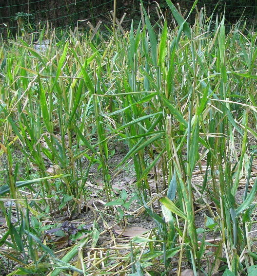 IMG_2533裸の麦