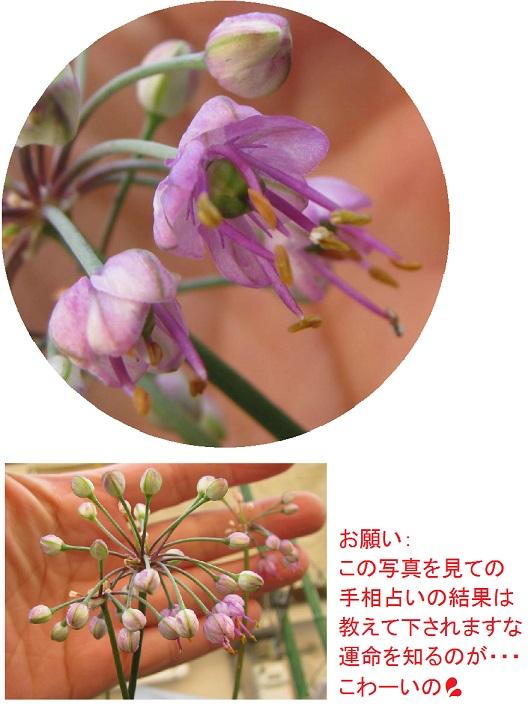 IMG_3761 辣韭花