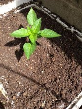 苗植え-5
