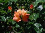 アンネのバラ6