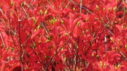 真っ赤な紅葉2