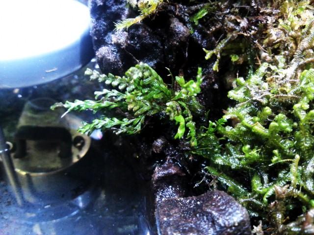 Xiphopteris sp Bentong (オオクボシダ)