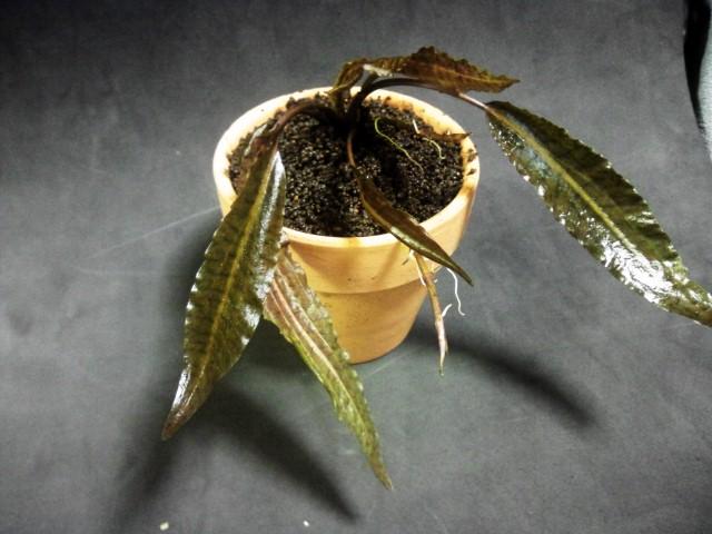 C affinis テミアン