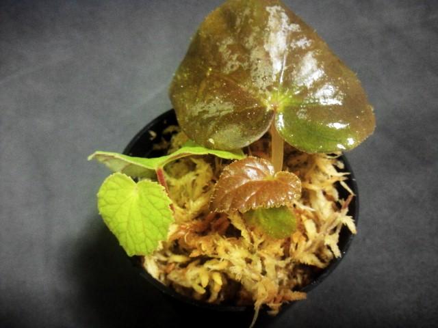 Begonia sinuta var.sinuta Genting Highlands.