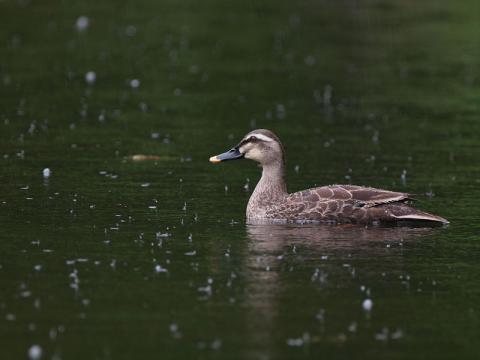 カルガモ雨130529