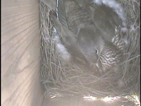 オシドリ抱卵130428