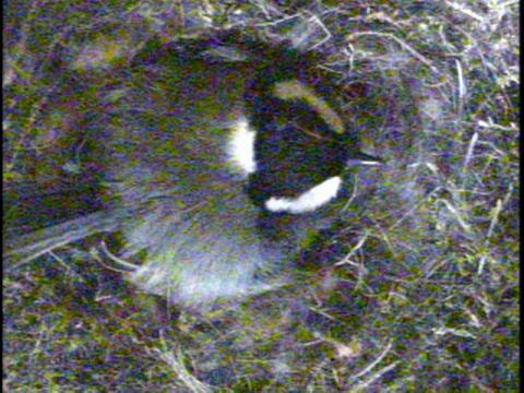 シジュウカラ抱卵130520