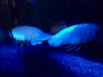 沼津港深海水族館のダイオウグソクムシ