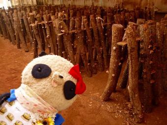 原木栽培のしいたけちゃん