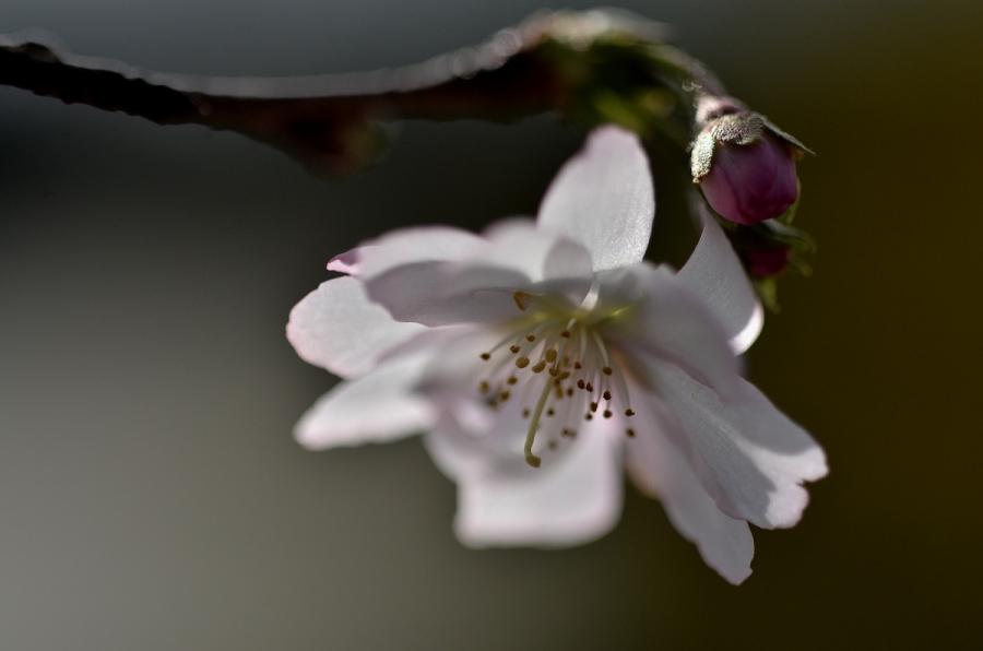 冬桜054