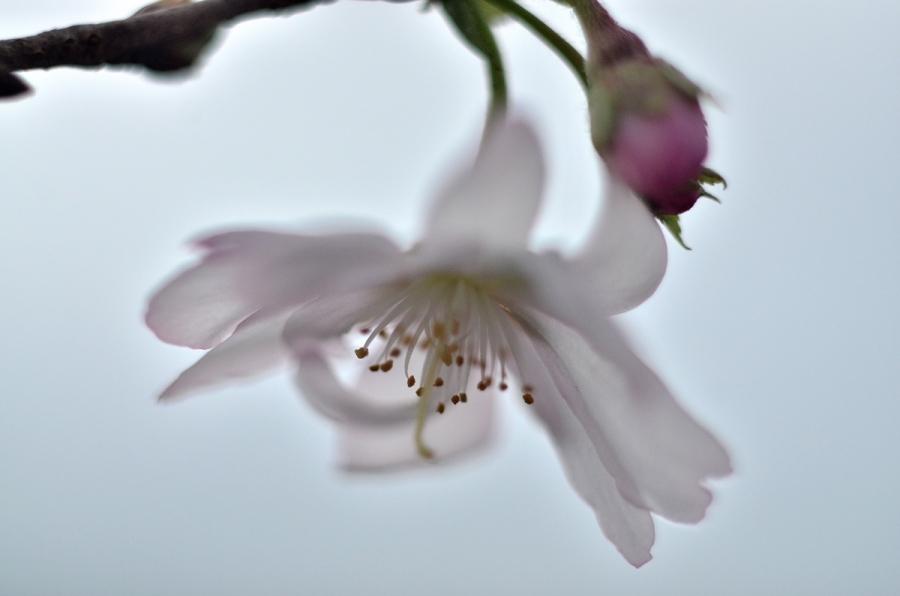 冬桜026s