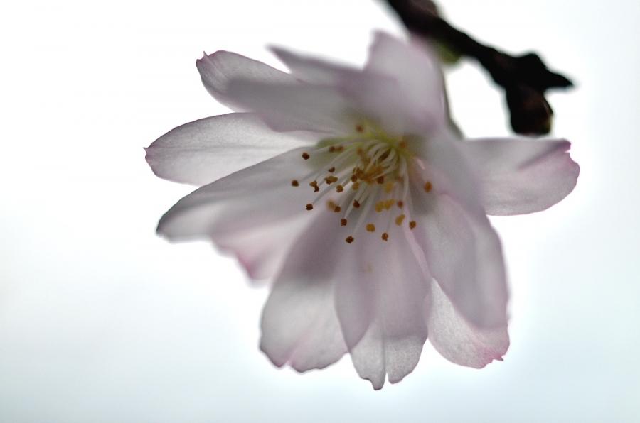 冬桜027s