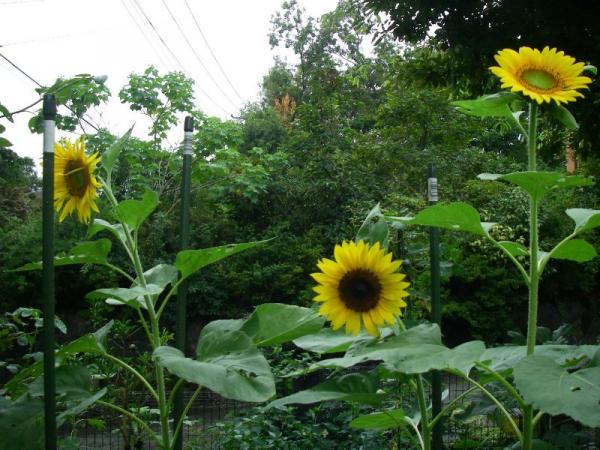 s向日葵1