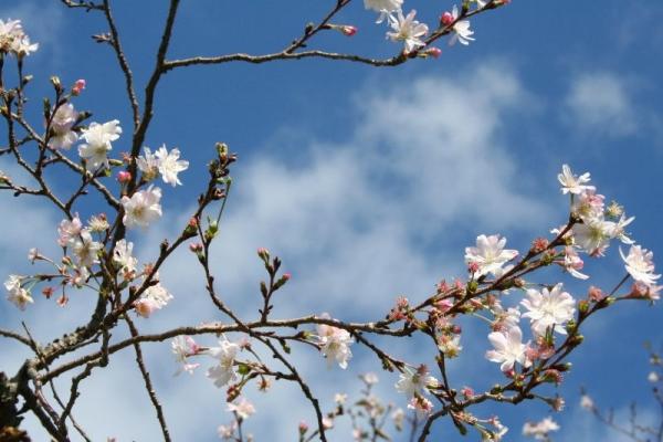 s131017十月桜