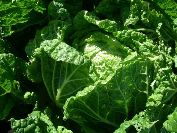 s131111白菜