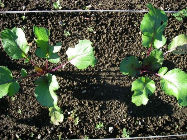 s131111紅菜苔