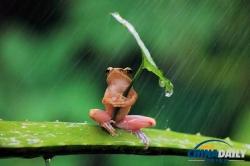 インドネシアで傘を刺した蛙が激写されるwwwwww01