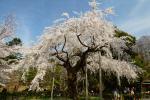 京都 円山公園