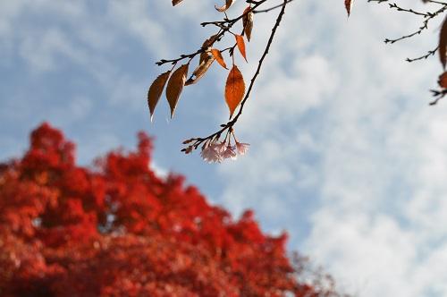 紅葉とサクラ