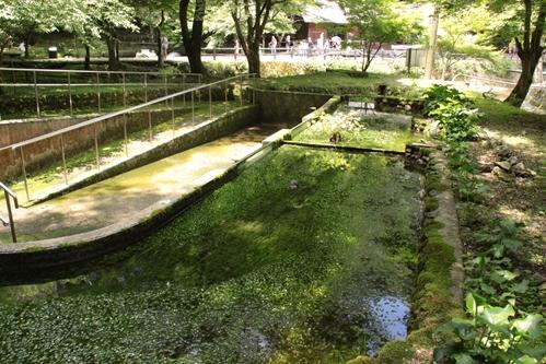 醒井養鱒場養鱒池その2