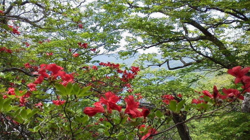 つつじがきれいに咲いています