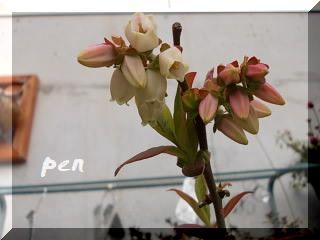 ブルーベリー花1
