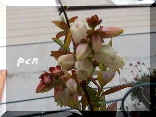 ブルーベリー花2