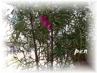 ボロニア花~