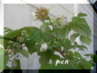 ラズベリー花
