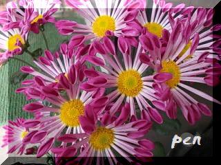 風車菊開花