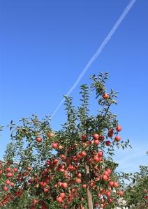 リンゴと、空と、飛行機雲