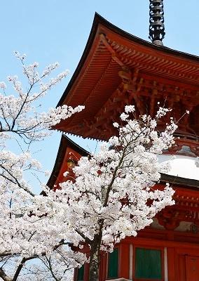 宮島桜 7