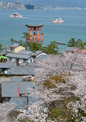 宮島桜 8
