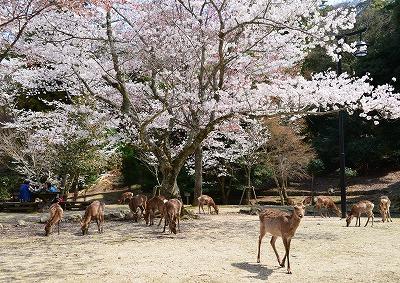 宮島桜 12