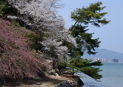 宮島桜14