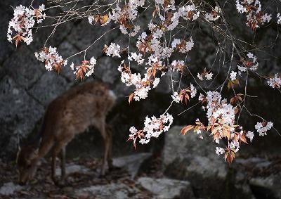 宮島桜15