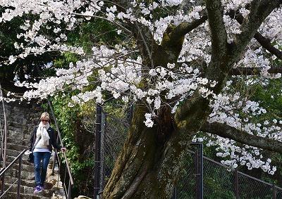 宮島桜16