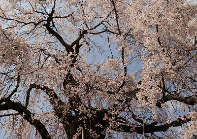 神原の枝垂れ 3