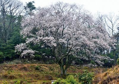 宿根の大桜 1