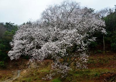 宿根の大桜2