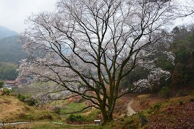 宿根の大桜 3