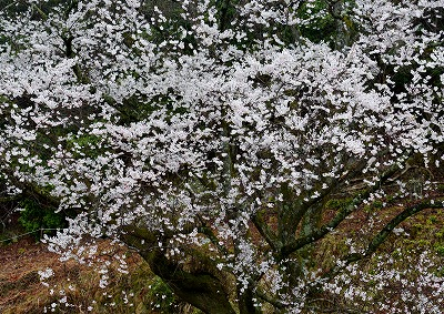 宿根の大桜 5