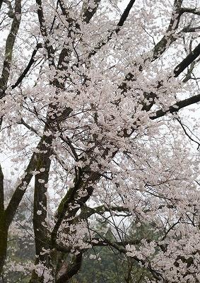 宿根の大桜 11