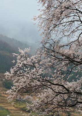 宿根の大桜 7