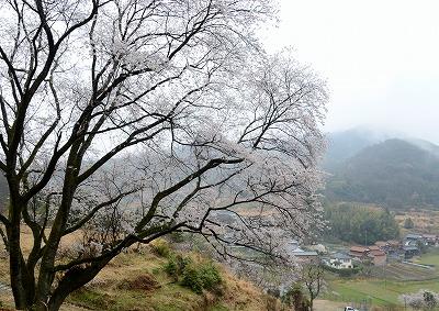宿根の大桜 4