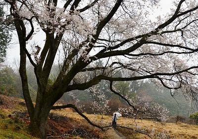 宿根の大桜 12