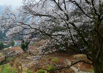 宿根の大桜 8